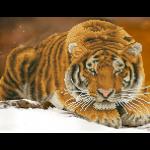 """Набор для картины стразами """"Амурский тигр"""" """"Фрея"""""""